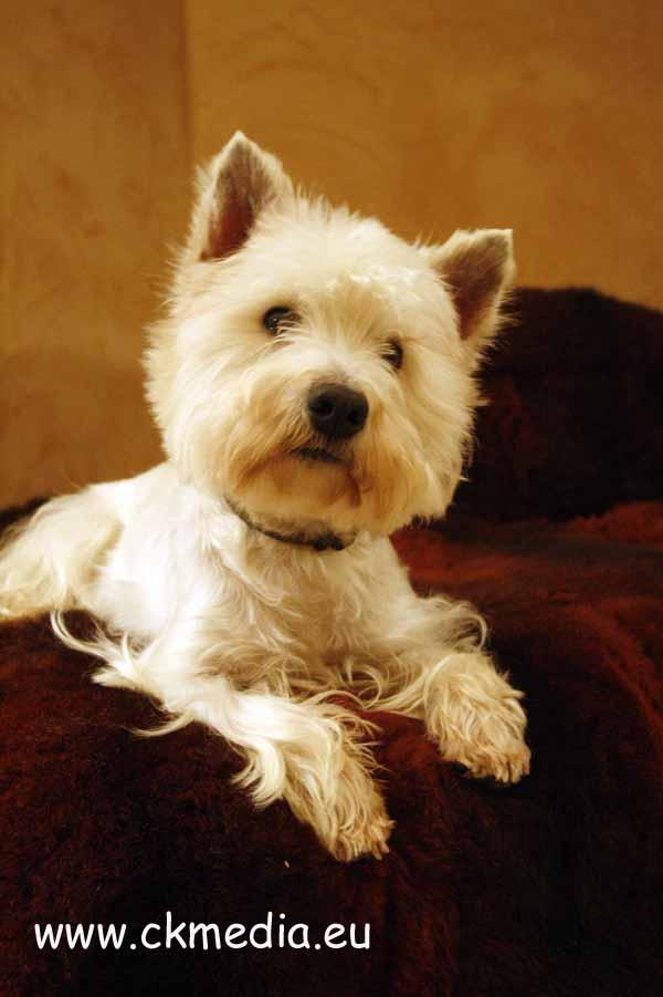 Berry West Highland White Terrier Zuchtrüde