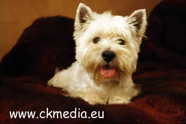 Edy West Highland White Terrier Zuchtrüde