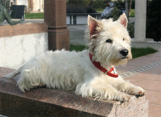 West Higland White Terrier Berry Rüde