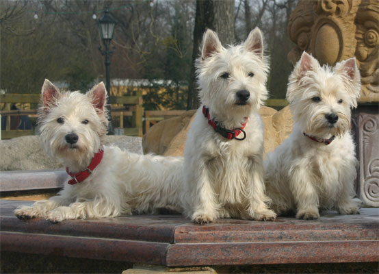 West Higland White Terrier Berry Rüde
