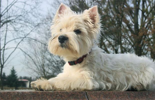 West Higland White Terrier Lucky Love von den Whitedogs
