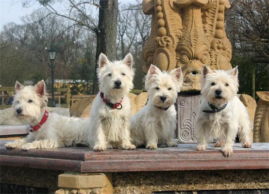 West Higland White Terrier Rudel